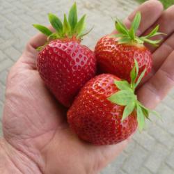 joekels van aardbeien bij aardbeiplantje.nl