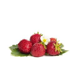 Senga Sengana aardbeien van aardbeienplant