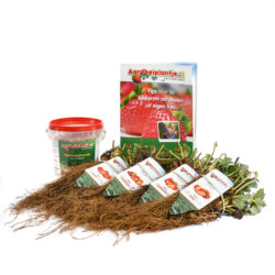 smulpakket aardbeiplanten 20 stuks met 500 gram meststof en informatieboekje van aardbeiplantje.nl