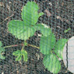 aardbeien beschermingsnet tegen vogels