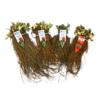 frigo aardbeiplanten rassen