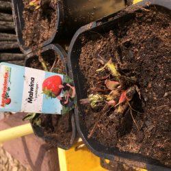 Vervroegen frigo planten