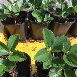 Powerplants poten met beetje bescherming